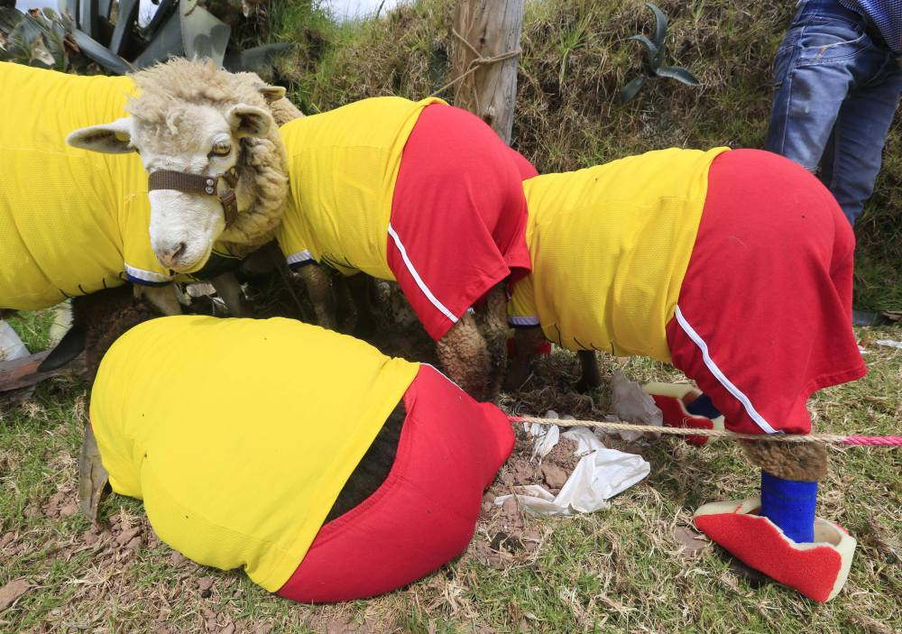 Sheeps, dressed in jerseys in the colours of the Colombian national soccer team, are seen during an exhibition, prior to the 2014 World Cup in Brazil, in Nobsa