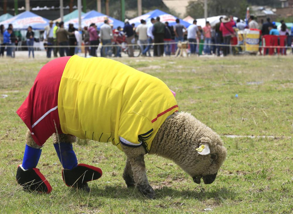 A sheep, dressed in a jersey in the colours of the Colombian national soccer team, grazes on grass during an exhibition, prior to the 2014 World Cup in Brazil, in Nobsa