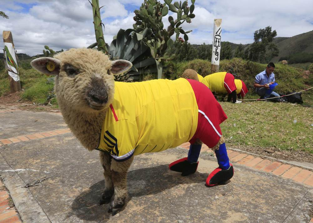 A sheep dressed in a jersey in the colours of the Colombian national soccer team is seen during a exhibition, prior to the 2014 World Cup in Brazil, in Nobsa