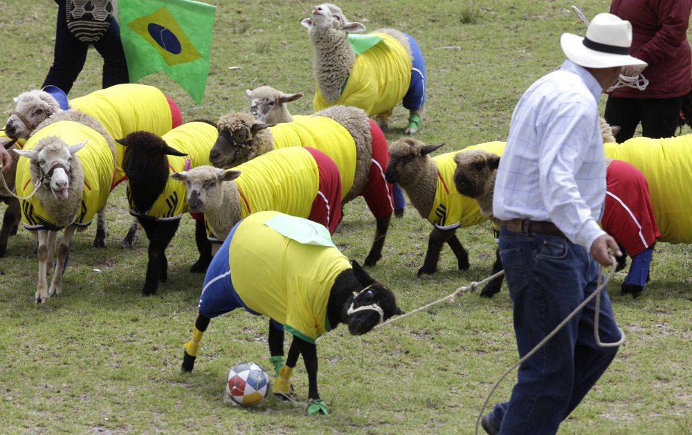 COLOMBIA_WORLD_CUP_SHEEP_XRM106-2014JUN01_212428_279.jpg