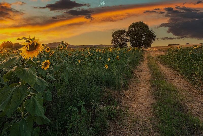 Rilind Hoxha - Sun Flowers - Skopje, Macedonia