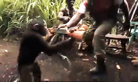 majmun radi sto majmun vidi_majkatiitatkoti
