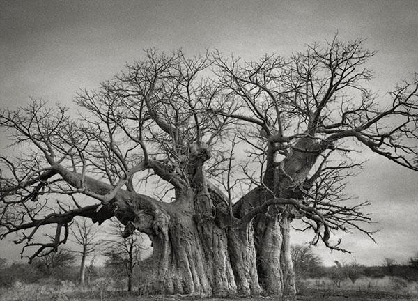 staro-drvo_majkatiitatkoti