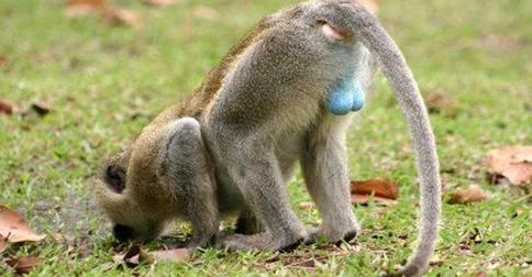 Малку Познат Факт: Мајмуните со мали тестиси…